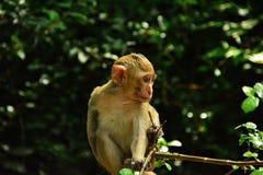 O macaco está olhando fixamente em algo Fotografia de Stock