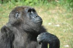 O macaco está pensando Fotos de Stock