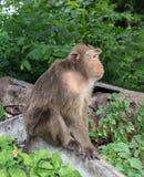 O macaco está sentando-se Fotos de Stock