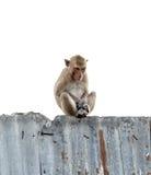 O macaco está sentando-se Imagens de Stock Royalty Free