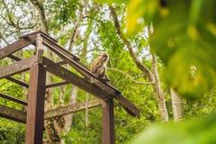 O macaco está sentando-se em um miradouro de madeira imagens de stock