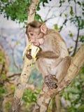 O macaco na árvore come a banana Imagens de Stock Royalty Free