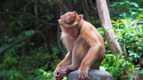 O macaco na floresta senta-se em uma rocha e olha-se ao redor video estoque