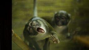 O macaco olha como o zombi video estoque