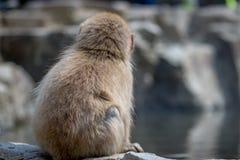 O macaco olha na distância Fotografia de Stock Royalty Free