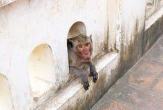 O macaco olhar fixamente aparece da parede Foto de Stock Royalty Free