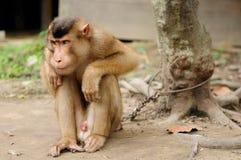 O macaco selvagem enchain à árvore Imagem de Stock Royalty Free