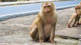O macaco senta-se e olha-se fixamente na câmera, família dos primatas video estoque