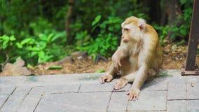O macaco senta-se em um parque nos habitat naturais da floresta Animais no selvagem video estoque
