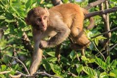 O macaco senta-se em um ramo de árvore imagens de stock royalty free