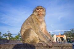 O macaco senta-se na parte superior da parede Fotos de Stock