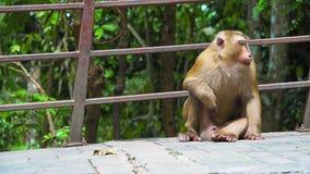 O macaco senta-se no parque e olha-se ao redor Animais selvagens filme