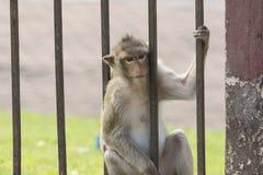 O macaco vive na cidade Fotografia de Stock