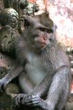 O macaque de cauda longa (fascicularis do Macaca) Fotos de Stock