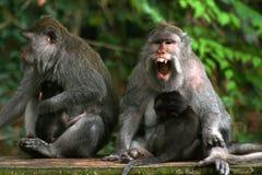 O macaque de cauda longa (fascicularis do Macaca) Fotos de Stock Royalty Free
