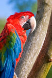 O macaw green-winged (chloroptera do Ara) Foto de Stock Royalty Free