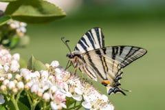 O machaon de Papilio, o Velho Mundo ou swallowtail amarelo comum, é uma borboleta da família Papilionidae fotografia de stock