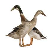 O macho e o corredor indiano fêmea Duck, 3 anos velho Imagens de Stock