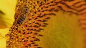 O macro, abelha chapeada com o pólen da flor, recolhe o néctar do girassol filme