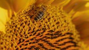 O macro, abelha coberta no pólen da flor, recolhe o néctar do girassol no campo video estoque