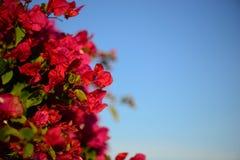 O macro colorido floresce o fundo com céu azul Flores delicadamente cor-de-rosa Fim acima Floresce o fundo com um espaço da cópia foto de stock royalty free