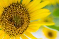 O macro da abelha com o fundo do girassol fotografia de stock