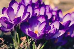 O macro da primeira mola floresce no açafrão do jardim retro Fotos de Stock