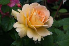 O macro do amarelo bonito e precioso aumentou no jardim imagens de stock