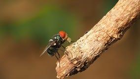 O macro do close up da mosca verde ou a mosca de greenbottle no ramo que come o alimento pela saliva do cuspe liquefazem no alime filme