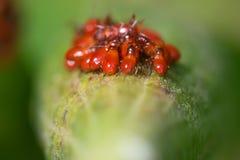 O macro do close up de afídios vermelhos brilhantes bronzeia possivelmente afídios do ambrosia em uma haste da planta verde no re imagens de stock
