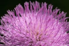 O macro e o detalhe dispararam da flor roxa com as pétalas longas na natureza Fim acima Cor do açafrão da mola do pantone Imagem de Stock