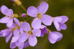 O macro floresce o lila Imagens de Stock