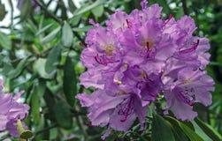 O macrophyllum pacífico do rododendro do rododendro é uma espécie grande-com folhas de nativo do rododendro à Costa do Pacífico d fotografia de stock