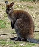 O Macropus do canguru O canguru é um símbolo de Austrália e aparece na brasão australiana imagens de stock
