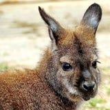 O Macropus do canguru O canguru é um símbolo de Austrália e aparece na brasão australiana fotos de stock