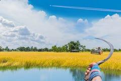O maduro do campo marrom do arroz 'paddy' com céu e a nuvem bonitos imagens de stock royalty free