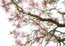 O Magnolia floresce o fundo Fotografia de Stock Royalty Free