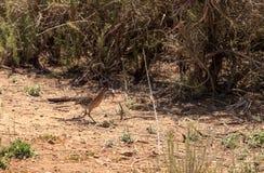 O maior roadrunner, californianus do Geococcyx, pássaro come um lagarto imagem de stock
