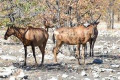 O mais hartebeest vermelho - Etosha, Namíbia Foto de Stock Royalty Free