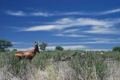 O mais hartebeest vermelho no arbusto, parque internacional de Kgalagadi, cabo do norte, África do Sul Foto de Stock Royalty Free
