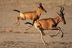 O mais hartebeest vermelho Running Imagens de Stock Royalty Free
