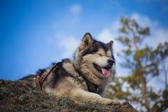 O Malamute do Alasca adulto está nas rochas Imagens de Stock Royalty Free
