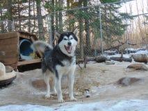 O Malamute do Alasca está sempre feliz dizer olá!! Imagens de Stock