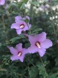 O malva coloriu flores em Rosa do arbusto de Sharon na luz do amanhecer foto de stock