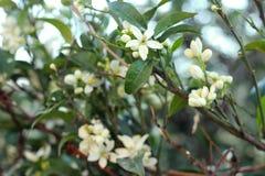 O mandarino de florescência, árvore alaranjada Ramo com folhas, fotografia do close up das flores imagem de stock royalty free