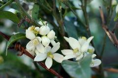 O mandarino de florescência, árvore alaranjada Ramo com folhas, fotografia do close up das flores fotografia de stock royalty free