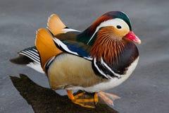 O mandarino Duck Standing na água pouco profunda Imagem de Stock Royalty Free