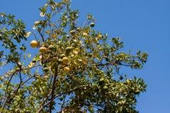 O mandarino marroquino Imagens de Stock Royalty Free