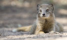 O mangusto amarelo encontra-se para baixo para descansar dentro na areia do deserto de Kalahari Foto de Stock