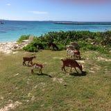 O mar das caraíbas das cabras remove ervas daninhas do arbusto fotografia de stock